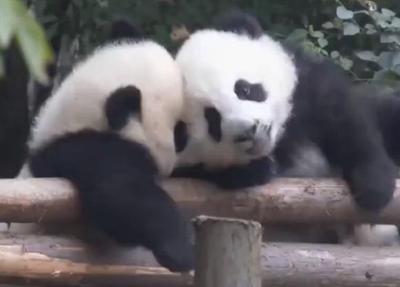 """大熊貓用上""""熊臉識別"""",網友:再也不會傻傻分不清啦"""