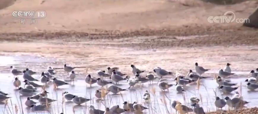 內蒙古額濟納旗濕地迎來候鳥北遷高峰