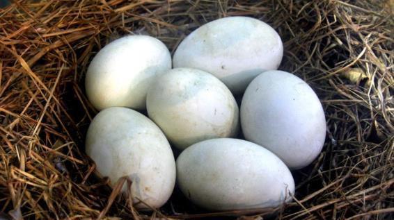 原创怀孕8个月了再吃鹅蛋还有用吗?一天吃几个比较合适?早知早受益