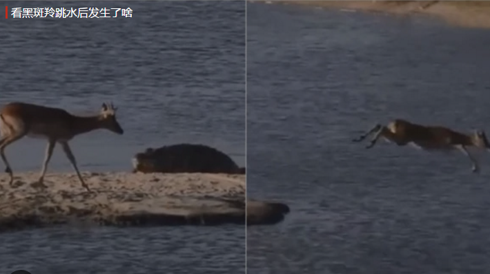 黑斑羚遭鳄鱼追杀 河马紧急相助