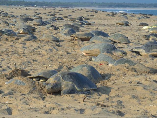 没有人类打扰,25万只丽龟爬上海滩,预计产6000万只龟宝宝