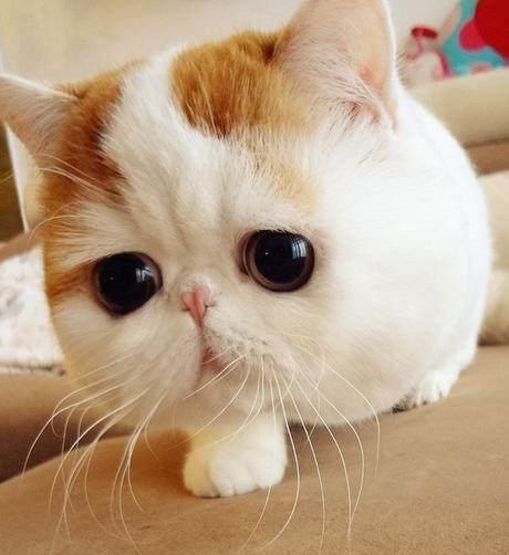 布偶猫只认一个主人吗图片