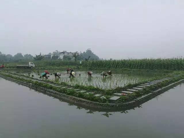峰成农业之稻田养鱼篇