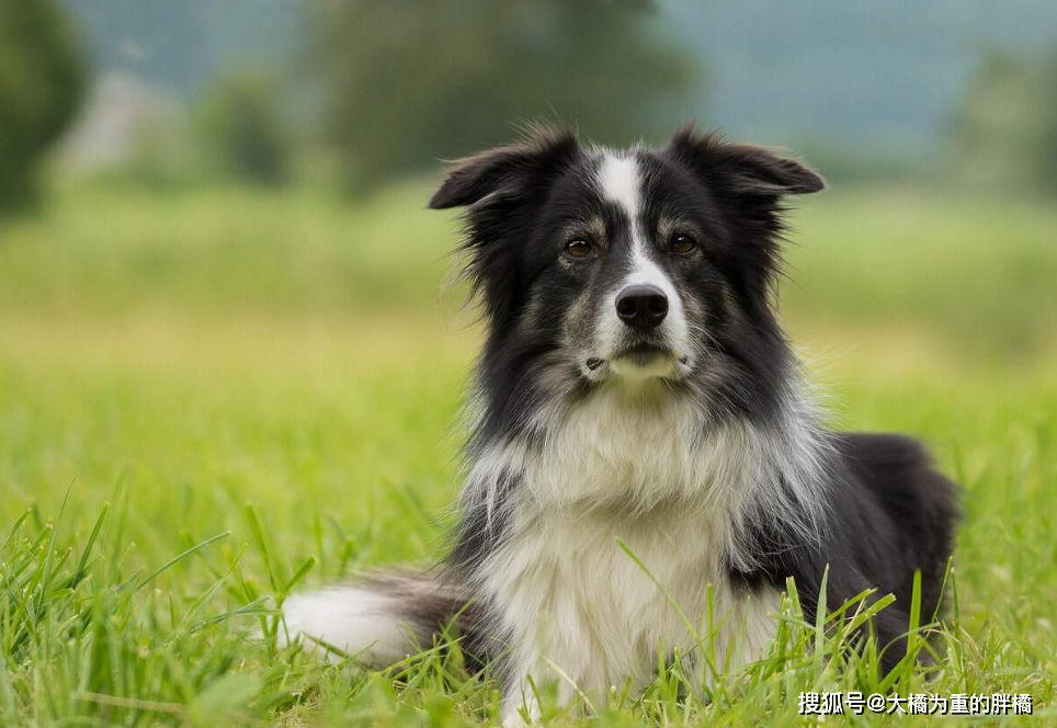 """最受欢迎的5种""""牧羊犬"""",颜值很高还不傻,你都见过吗?"""