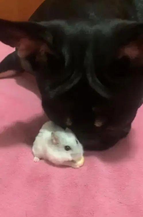 法斗犬欺负银狐鼠,吃掉人家的点心!网友:幸好它没把老鼠吃下去......