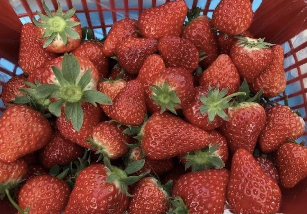 草莓盆栽图片