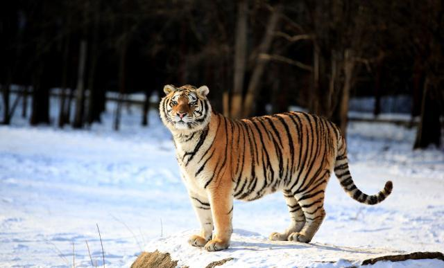 原创 东北虎和孟加拉虎谁的精神压力更大?它们的粪便告诉了我们谜底