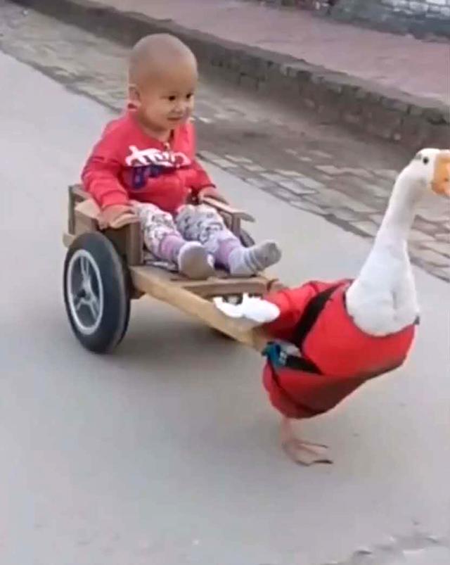 """原创奶奶用大肥鹅遛娃,宝宝对这""""坐骑""""很满意,妈妈看了却没办法淡定"""