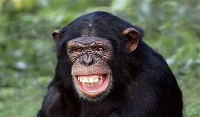 美国发现一基因变异猩猩,有人类一样的手指,它能否连续进化?