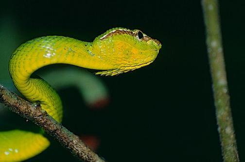 印度发现新型毒蛇,将用《哈利·波特》中霍格沃茨创始人名字命名