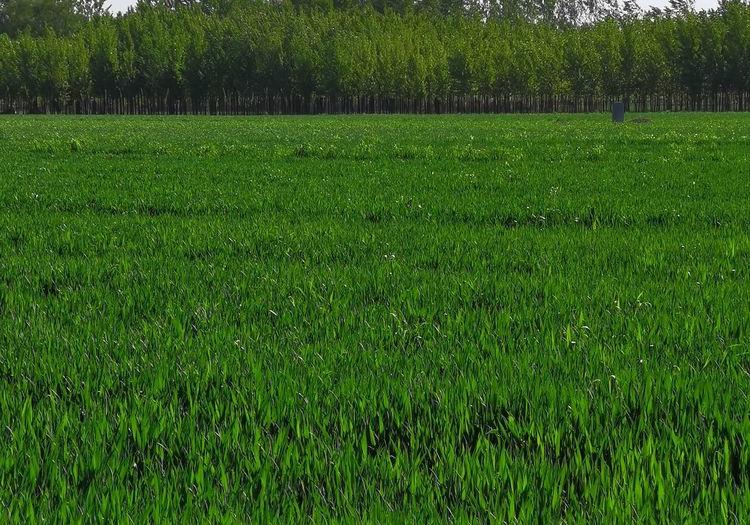 四月麦田绿油油,拔节抽穗麦花秀