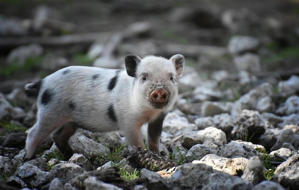 从倒牛奶到免费送土豆,现在竟然给猪安乐死?美国农业到底咋了?