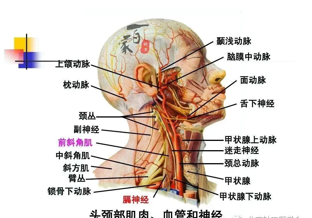 胫神经支配分布图
