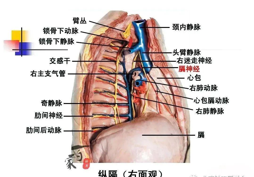 脊髓支配神经分布图