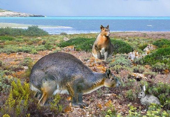 世界上最大的兔子:捉住一只可以给猞猁吃3天,活下来全靠运气