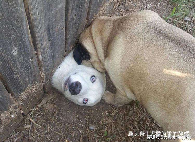 """""""完了卡壳了,兄弟快拉我一把"""" 狗狗搞笑照片让你笑不停"""