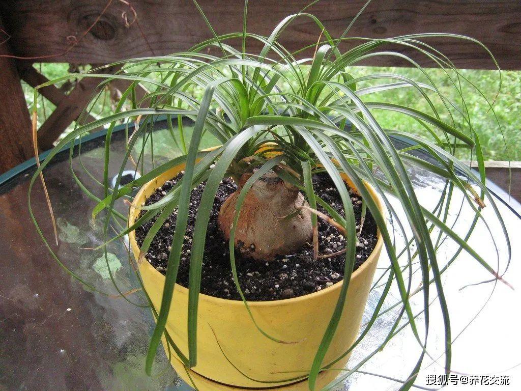 君子兰叶子从根部发黄图片