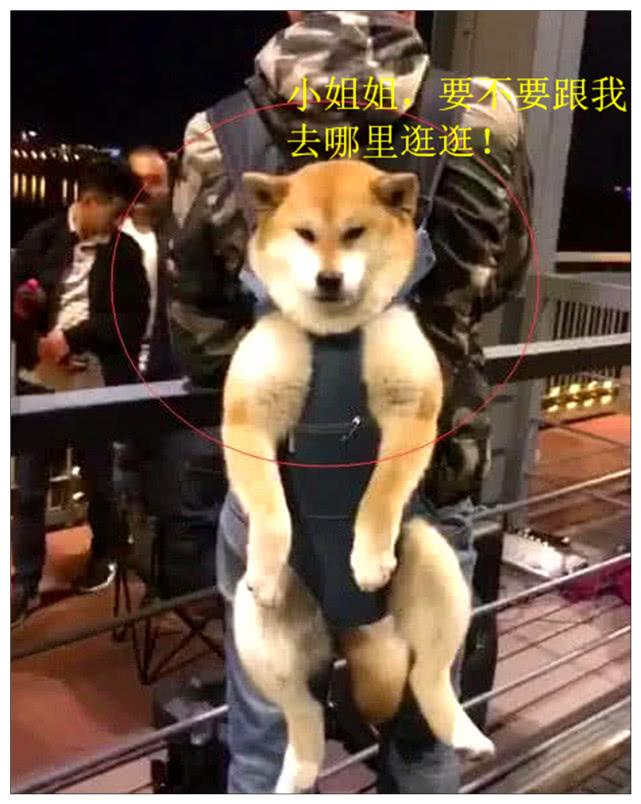 原创 男子背着柴犬逛夜景,遇到玉人,狗子的脸色瞬间让路人笑喷!