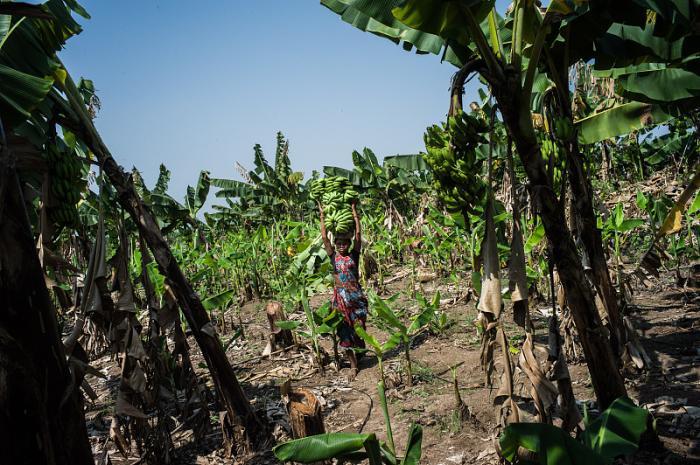 原创            抓怕:印度人摘香蕉,最喜欢吃生姜、葱花拌香蕉泥