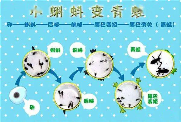 卵——蝌蚪——长出后腿——长出前腿尾巴变短——青蛙 小结蝌蚪变成青蛙要以上四个过程从卵变成青蛙要70多天.图片