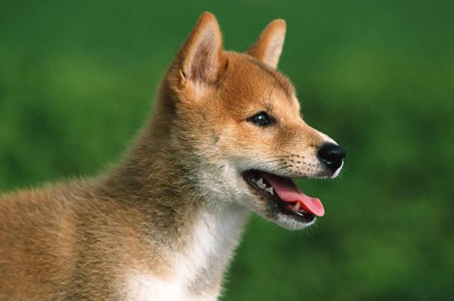 大连回应中华田园犬为何属禁养犬 属于烈性犬!