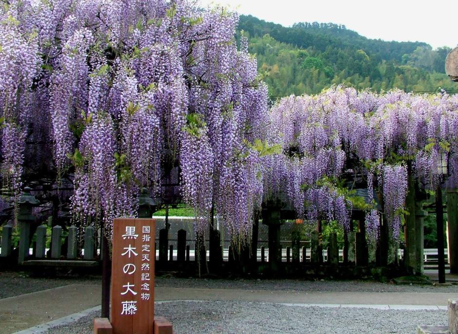 600岁巨型紫藤花被全部剪掉 日本为防疫拼了!