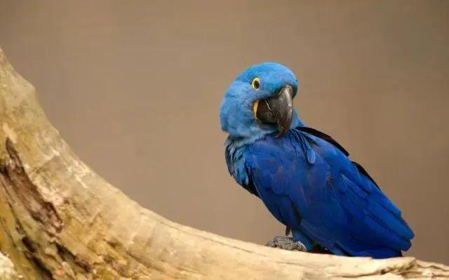 混种金刚鹦鹉之如何区分青蓝金刚鹦鹉很容易和紫蓝金刚鹦鹉?