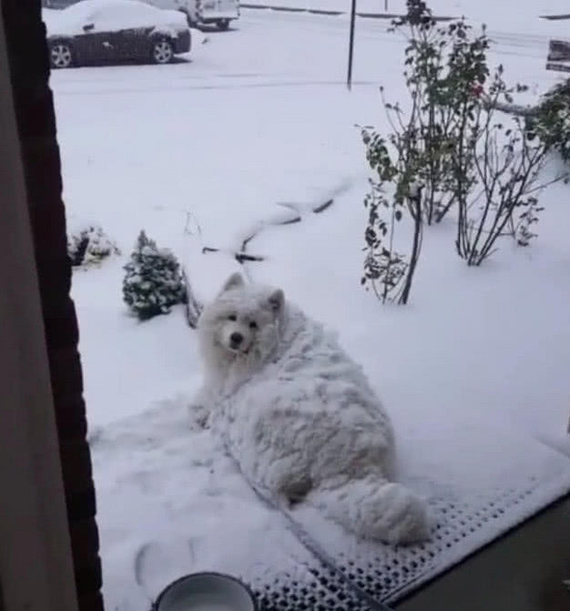 原创 萨摩耶犯错,主人将它丢到雪里反省,当打开门时主人不淡定了