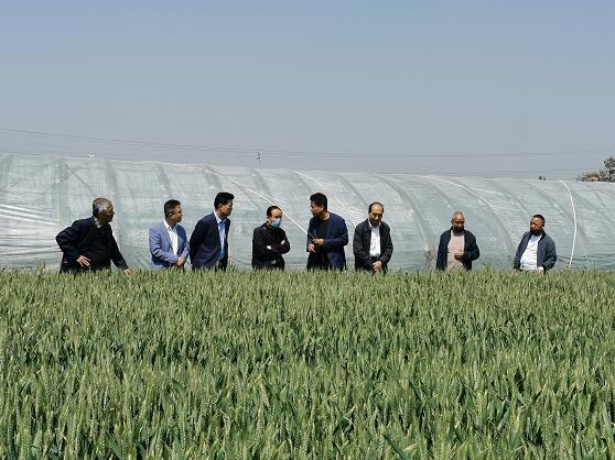 陕西韩城:在希望的田野里播下超级小麦的种子