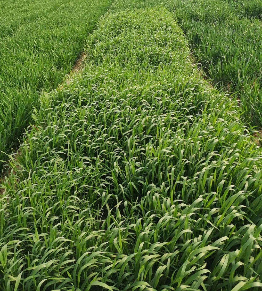 【野麦子】野麦子的功效与作用_野麦子怎么吃_野麦子的药用价...