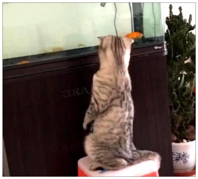 原创 女主在厨房做饭,突然听到猫咪大叫,出来看到这一幕后笑翻了