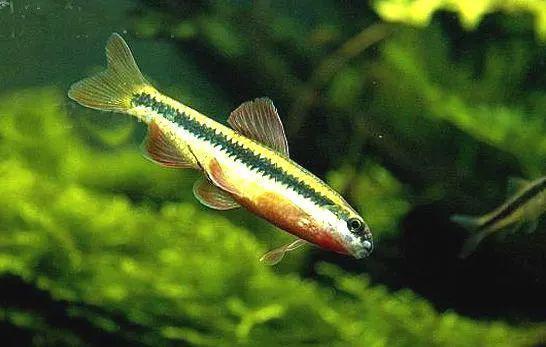 每日一鱼 小鳈 体侧有一条明显的黑色纵纹