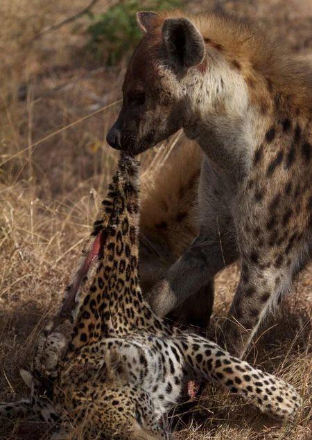 原创 鬣狗若是和豹子单挑谁能获胜?网友:狭路相逢勇者胜