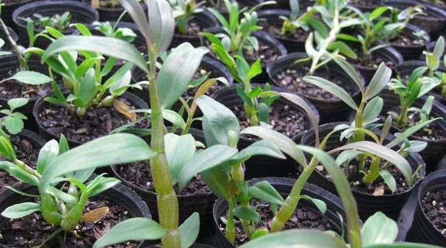 铁皮石斛种苗价格及种植方法图片