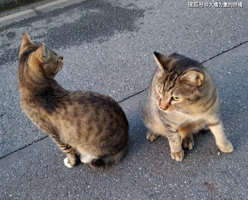 """「佐罗」相处几天后却被嫌弃,原来还有个""""替身"""",大叔看中了一只流浪猫"""