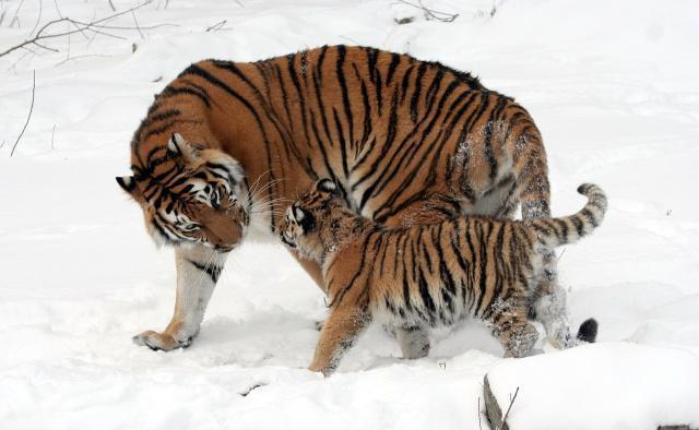 原创 太甜蜜啦!东北虎妈妈喜得三胞胎,虎宝一个比一个可爱