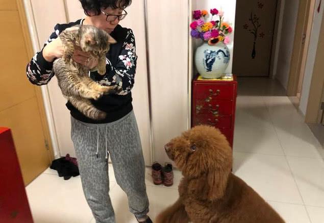 原创 主人带回一只猫咪,家里的巨型泰迪受不了了:你别想和我争宠!