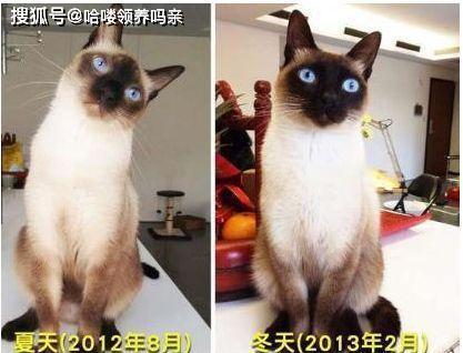 暹罗猫多少度变黑图片