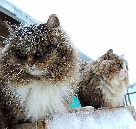 西伯利亚猫性格图片
