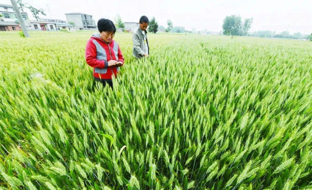 """数说""""十三五""""丨年产1.3万亿斤:我国粮食生产迈上新台阶"""