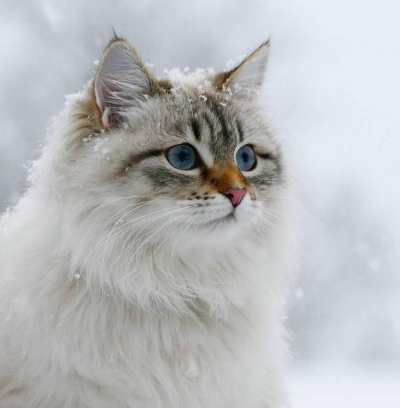 西伯利亚猫和缅因猫图片