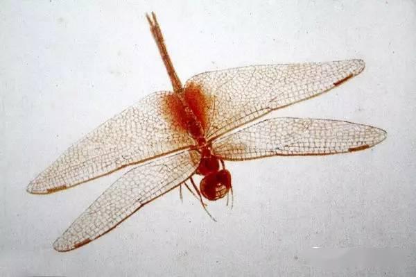 白石老人这是在画蜻蜓吗 这是在照相啊