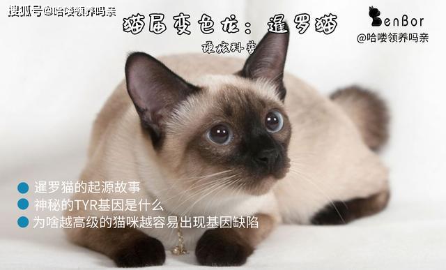 暹罗猫毛变色图片