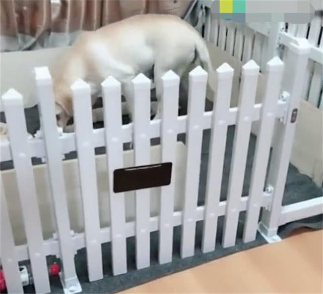 原创 狗狗累瘫正躺着休息,主人大呼有偷狗贼,狗狗下一秒的行为太暖