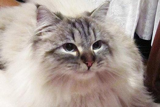 西伯利亚猫有多长图片