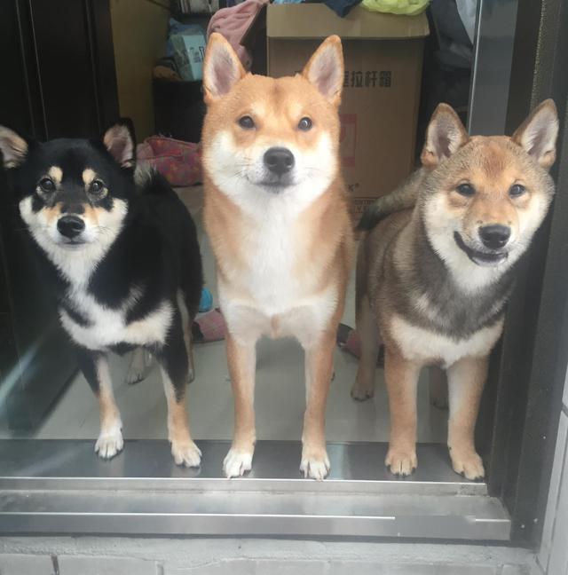 """柴犬被嫌弃是""""长得丑的田园犬"""",店家低价卖出,主人却赚大了!"""