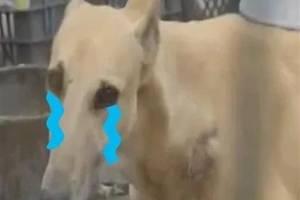 """自家黑狗丢了,他灵机一动偷了朋友家的黄狗,还给它""""了个油""""美工区布骤图图片"""