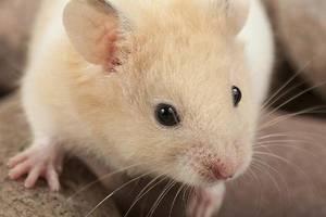 若是水灵灵的大仓鼠可仓鼠好v若是,要好开眼兔子睁不关掉睛需小心电到眼睛用发现电吗图片