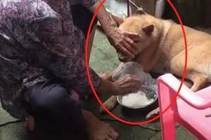 奶奶给大黄狗喂饭,一手捂眼一手往嘴里塞,狗:生无可恋