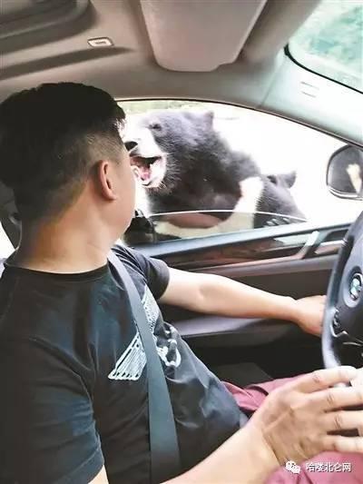 在马来熊园区将车窗打开小缝,给熊投食,不幸被熊扒开车窗,并被熊咬伤